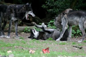 Timberwolf pack by Tribolonotus