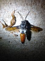 Giant Hairy Flower Wasp by Drhoz