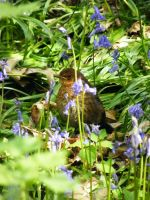 baby in the bluebells by plums-art