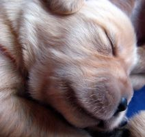 New Born Golden Retriever by designing-Life
