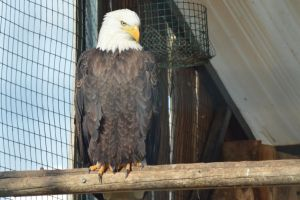 Eagle 1 by decolesse-stock