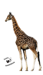 Cut-out stock PNG 39 - peaceful giraffe by Momotte2stocks
