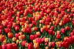 Tulip sea by Freya7