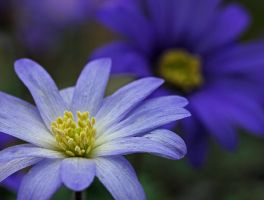 blue anemones come in various colours by clochartist-photo
