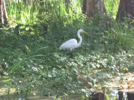 White great heron 02 by CotyStock