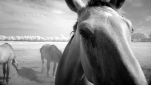 Horses III - infrared ... by MichiLauke