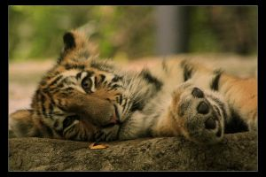 Tiger Cub by timseydell