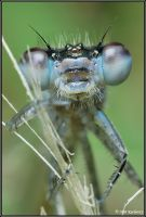 Damesfly II by Dark-Raptor