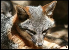 Channel Island Fox by klkessler714