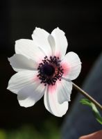 anenome by GemmaGreen