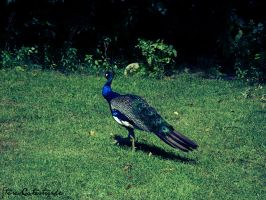 Peacock by StereoCatastrophe