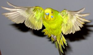 Budgie in flight 2 by greencheek
