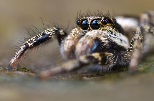 jumping spider by MartinAmm