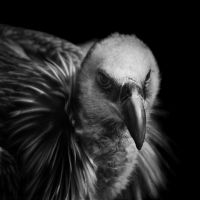 vulture by christinegeier