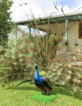 Lifesize Peacock by Tea-and-Taxidermy