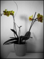 Orchid by SpeJa