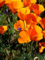 A Chorus of Poppies by Synaptica