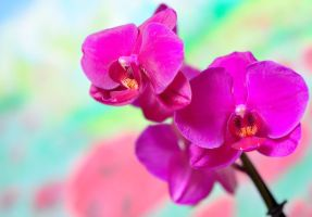 Violet Orchid _2 by LilithDarck