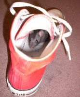 rat in shoe by chocolate-kitten