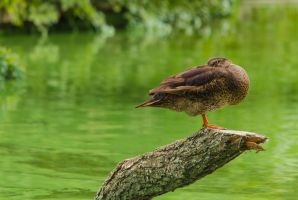 duck by gestphotography