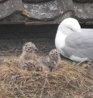 Gull hatchlings by WaywardInsecticon