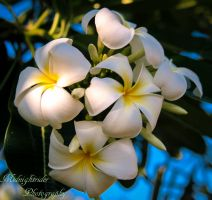 Frangipani's smell so Nice... by midnightrider79