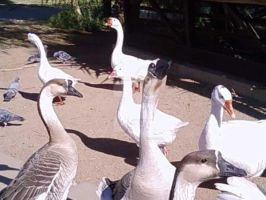 Arizona - Ducks, Geese and Pigeons 2 by KDSPhotoArt