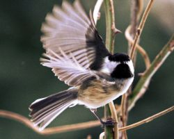 Chickadee wings by clippercarrillo