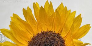 Sunflower with drops by FrancescaDelfino