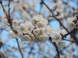 Apricot Blossoms 1 by DragonoftheEastblue