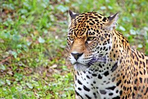 Jaguar looking out by winterface