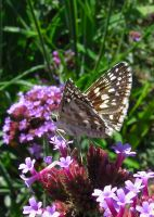 Common Checkered-Skipper #2 by JED1948