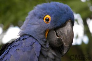 Hyacinth Macaw by Ciameth