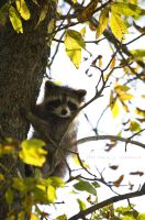 Baby Raccoon by Dani-Lefrancois