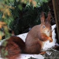 Red Squirrel by Kittyoholic