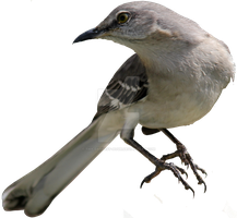 Northern Mockingbird PNG 02 by Thy-Darkest-Hour