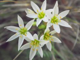 Small White Flowers by TheGerm84