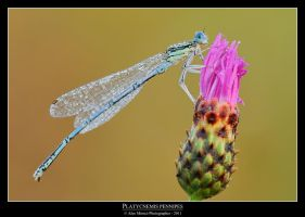 Platycnemis pennipes 4 by SelvaggioRocker