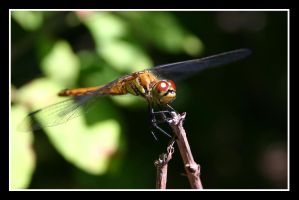 Wiseguy dragonfly 2 by Keith-Killer