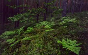 pine forest wallpaper by mescamesh