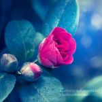 Blossom by TammyPhotography