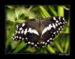 Papilio demoleus by David-A-Wagner