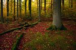 beech forest by mescamesh