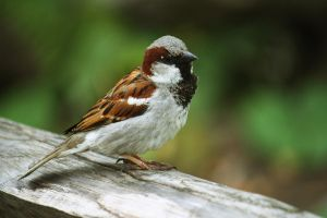 House sparrow by Sabbie89