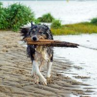 Border Collie in Action by sandor99