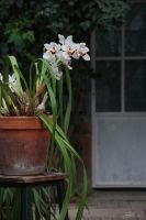 Orchids by BlackFlowerBlossoms