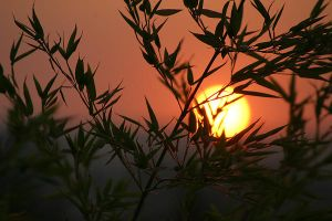 Bamboo Sunset by Danwarner