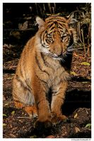 Baby Tiger: Looking at you by TVD-Photography