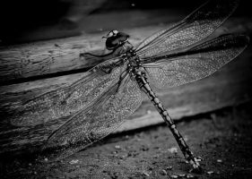 DragoNflY by steven--t