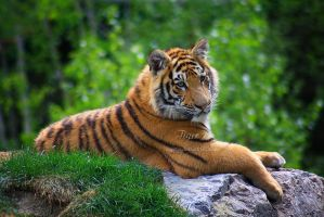 Amur Tiger 1 by Sagittor
